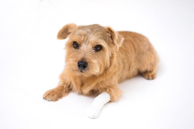犬 フローリング 傷 怪我