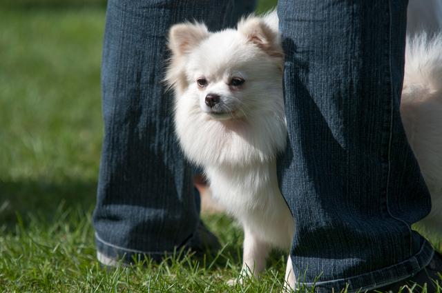 Scared white Chihuahua