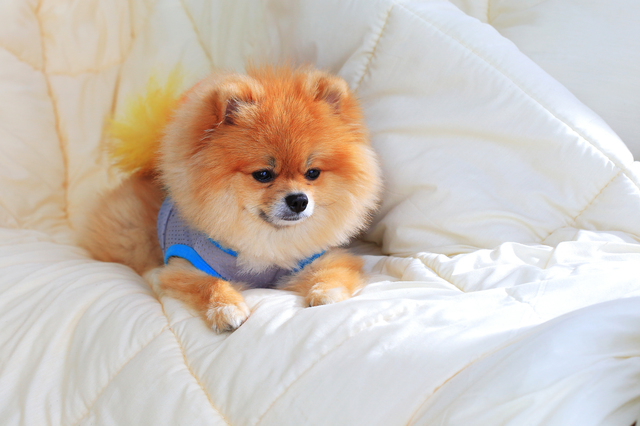 cute pet in house, pomeranian grooming dog wear clothes on bed a