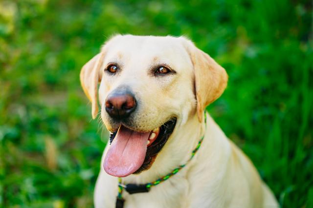 White Labrador Retriever Dog On Green Grass Background