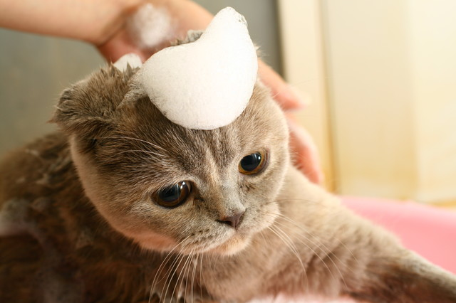 猫 シャンプー