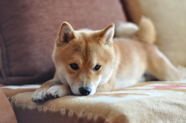 Shiba inu Dog on couch