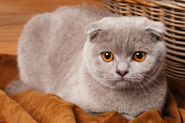 gray cat with yellow eyes Scottish Fold