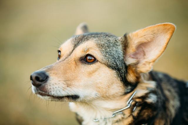Brown Dog Head Close Up Portrait