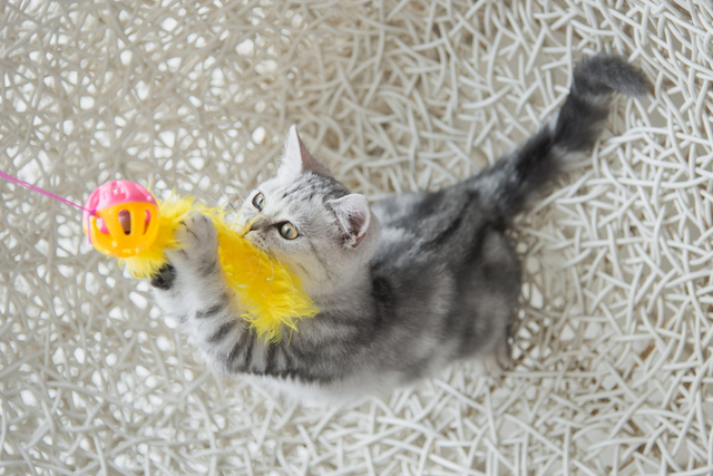 Cute tabby kitten playing toy