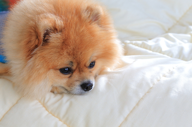 犬 白内障 手術