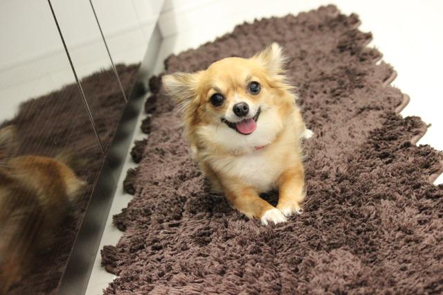 小型犬 肥満