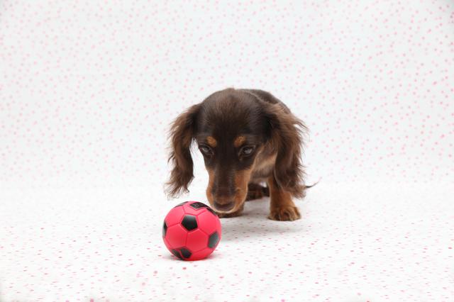犬 おもちゃ ランキング