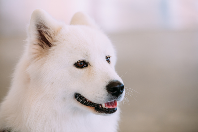 Happy White Samoyed Bjelkier Dog