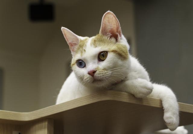 猫 オッドアイ 特徴