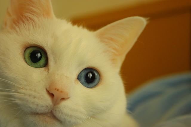 猫 オッドアイ
