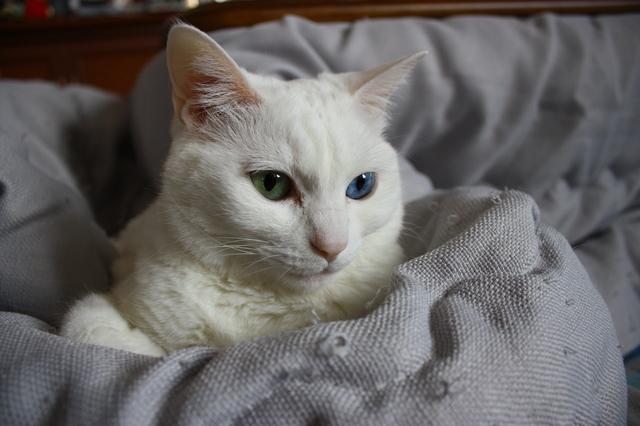 猫 オッドアイ 寿命