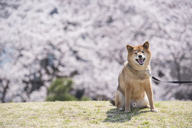 中型犬 散歩時間 距離 目安