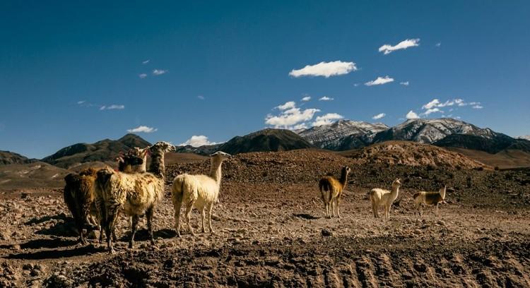 Llamas Valle del Arcoíris Atacama
