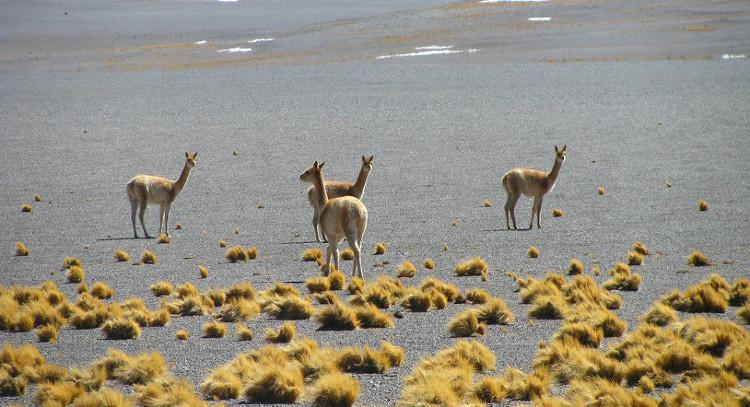Guanacos in Atacama Desert