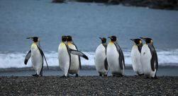 Tierra del Fuego Full Day: King Penguin