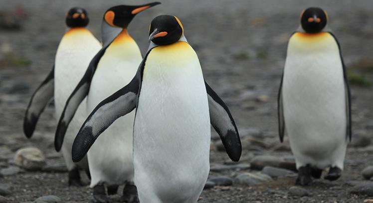 King Penguin Magallanes