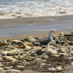 Seagull at Refugio State Beach