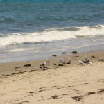 A flock of seagulls on the Refugio State Beach shoreline.