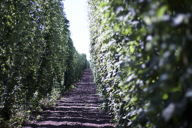 BC Hop Farms in Woodburn, Oregon.