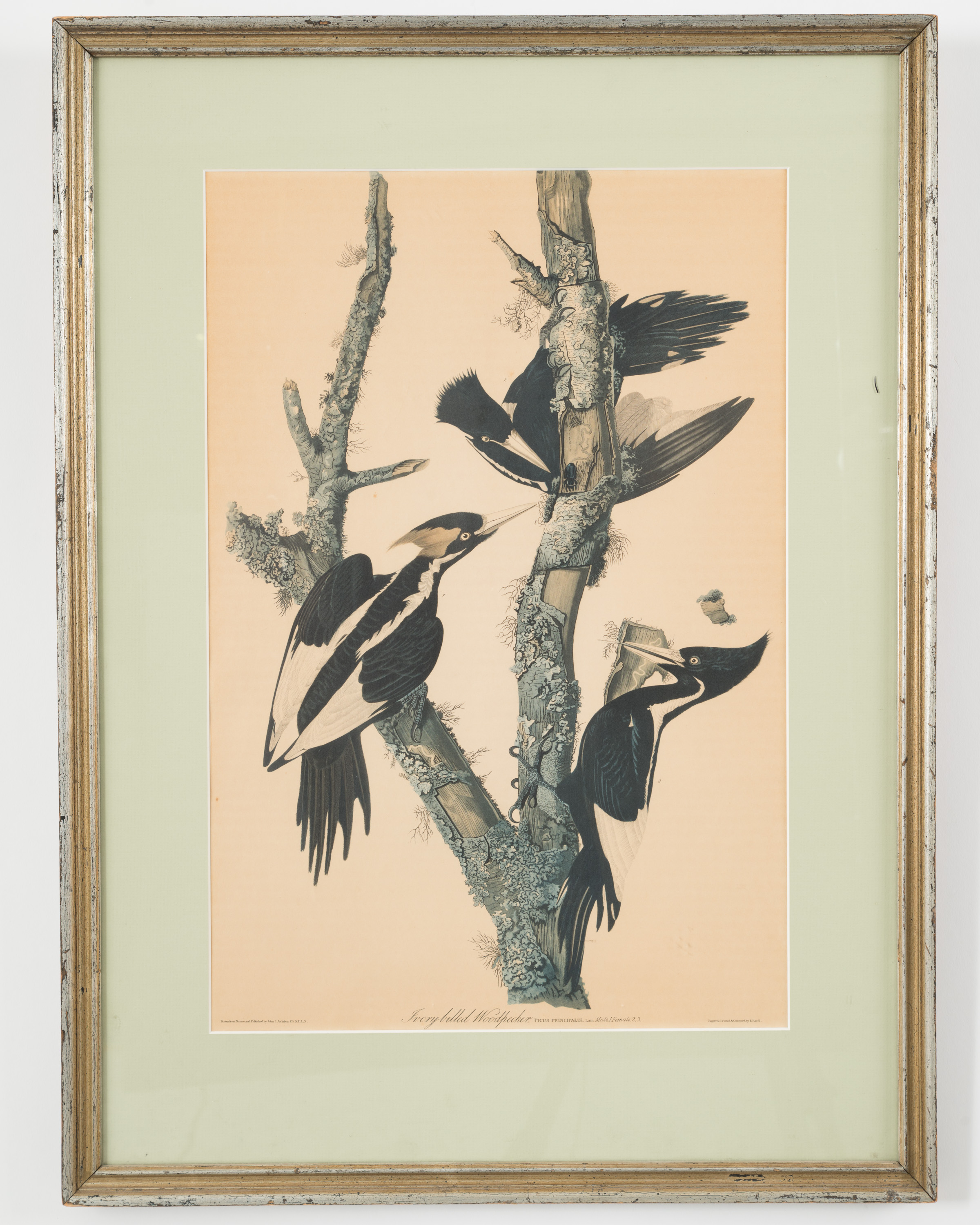 Vintage JJ Audubon Color Print Of Three Ivory Billed Woodpeckers Under Clear Plexiglass In Sage Green Matting And A Gray Painted Rectangular Wooden Frame