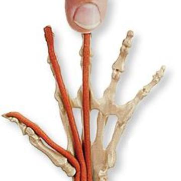 Anatomy in Clay® Centers