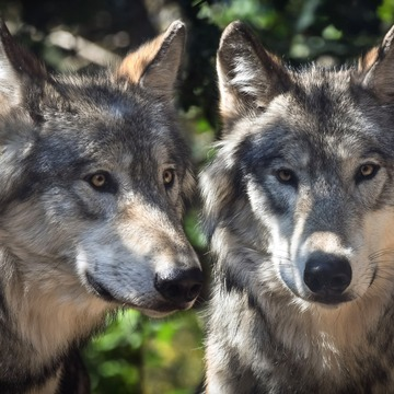 Wild Spirit Wolf Sanctuary
