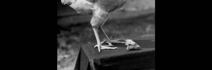 """Cover image for post """"A headless chicken, that's what I am today"""" (A Poem Inspired by an Overheard Quote), by WhiteWolfe32"""