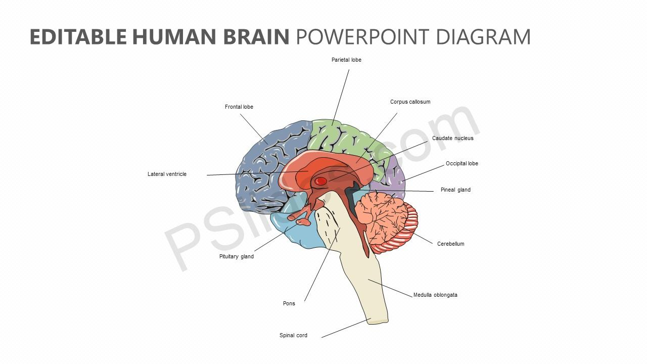 Human brain anatomy ppt