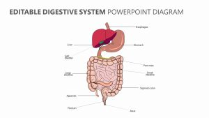 Editable Digestive System PowerPoint Diagram