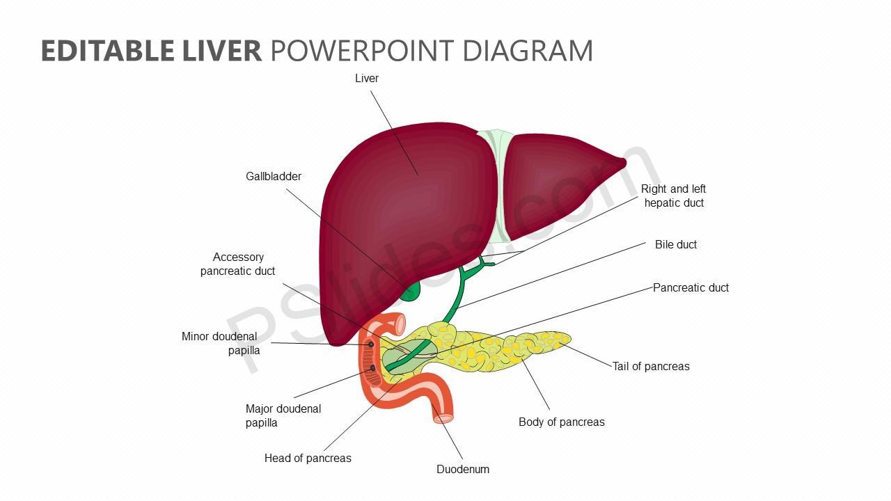 Editable liver powerpoint diagram pslides ccuart Choice Image