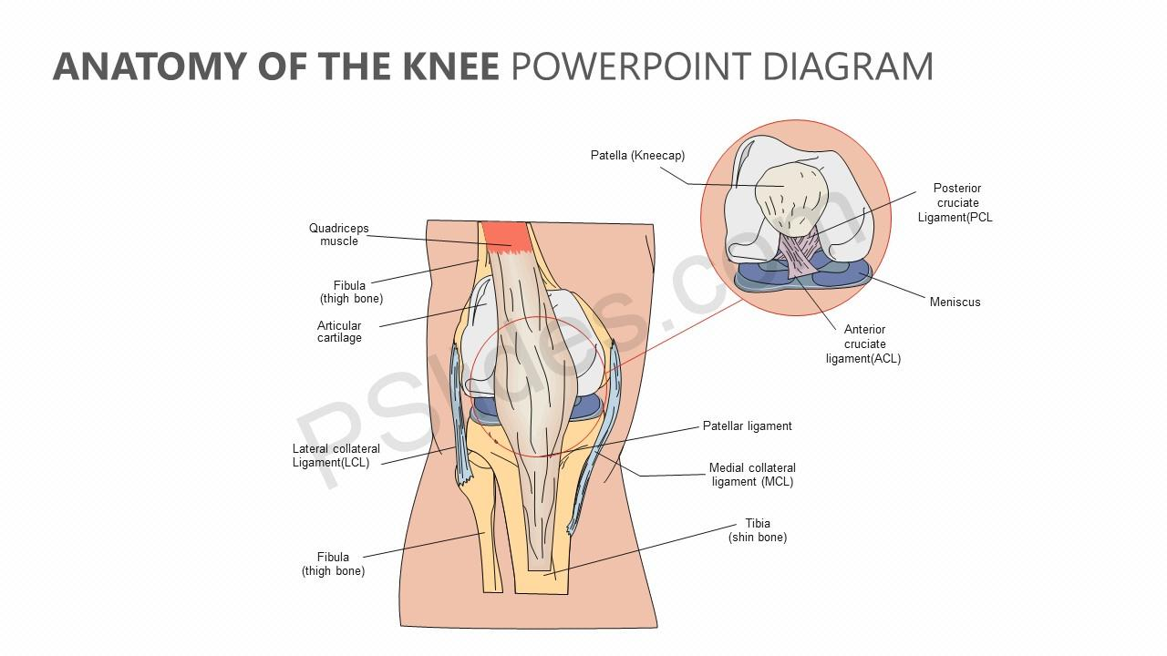 Mcl Anatomy Of Knee Choice Image - human body anatomy