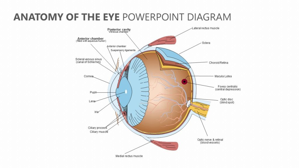 Anatomy of the Eye PowerPoint Diagram - Pslides