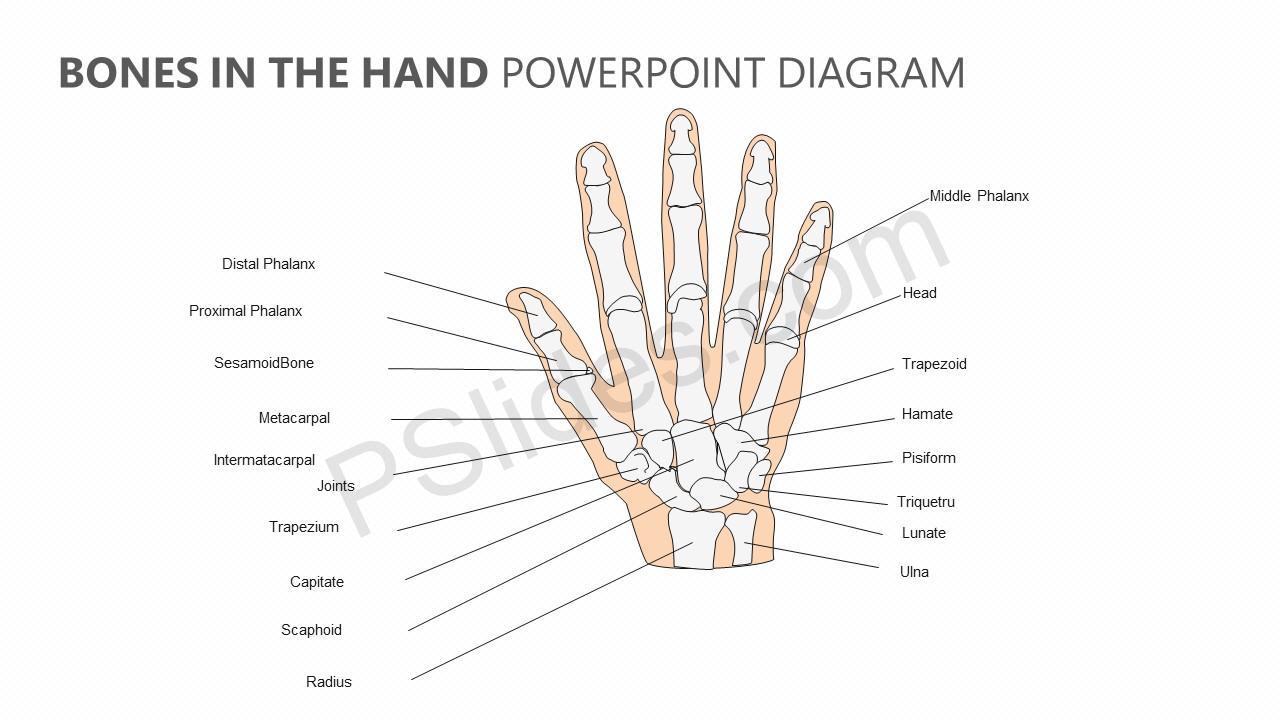 Bones In The Hand Powerpoint Diagram