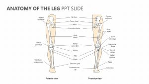 Anatomy of the Leg PPT Slide