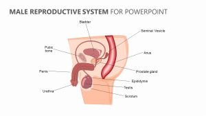 Male Reproductive System for PowerPoint