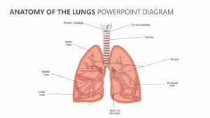 Anatomy of the Lungs PowerPoint Diagram