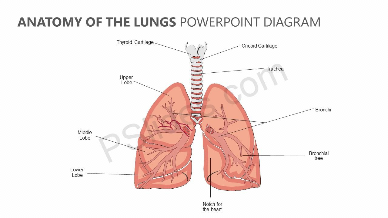 Diagram Of The Lungs Simple Wiring Schematic Diagram
