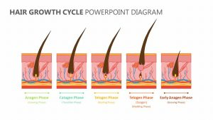 Hair Growth Cycle PowerPoint Diagram