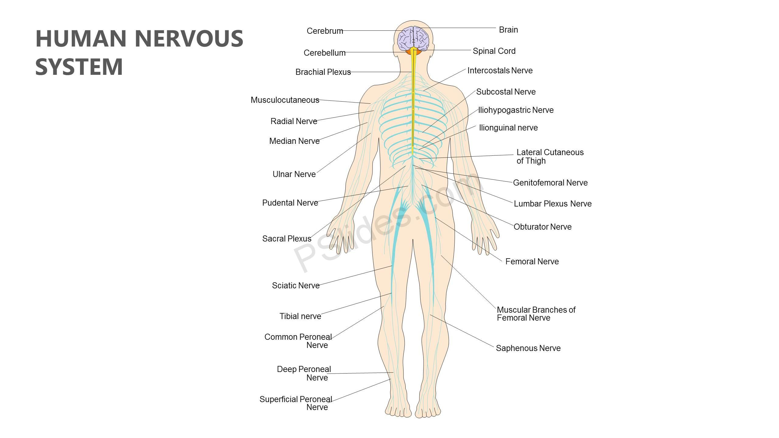 Human nervous system powerpoint diagram pslides human nervous system powerpoint diagram slide1 toneelgroepblik Image collections