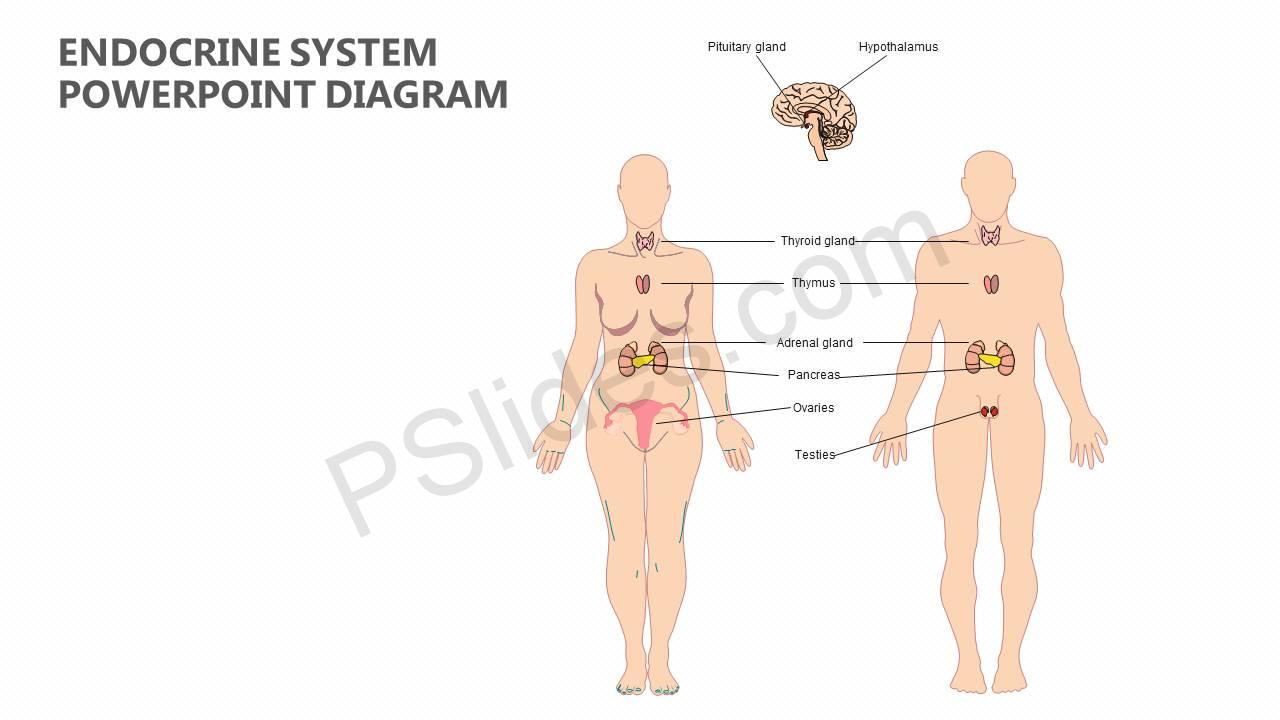 Endocrine system powerpoint diagram pslides endocrine system powerpoint diagram slide1 toneelgroepblik Choice Image