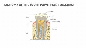 Anatomy of the Tooth PowerPoint Diagram