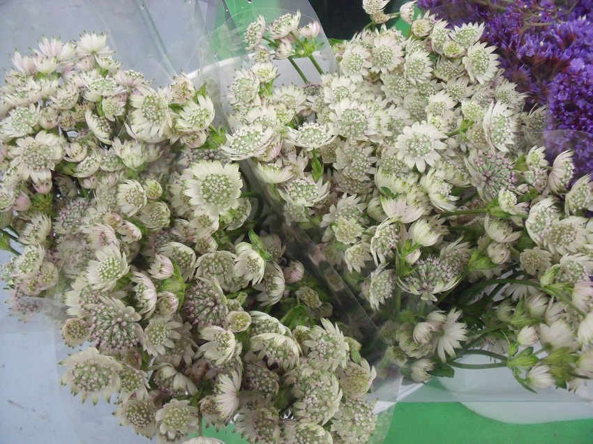 https://s3-us-west-2.amazonaws.com/public.prod.atlanticantigua.ca/images/FlowerFolder/Fillers_Astrantia_White.JPG