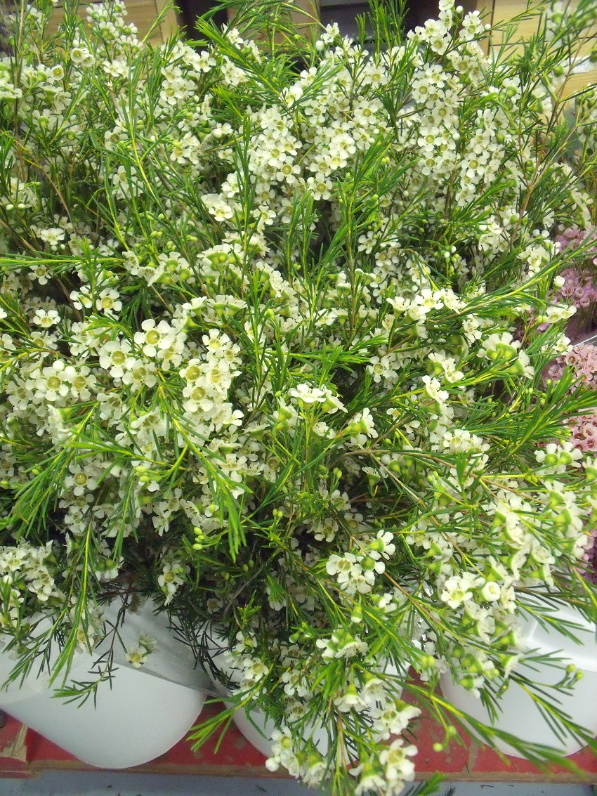 Fillers White Waxflower