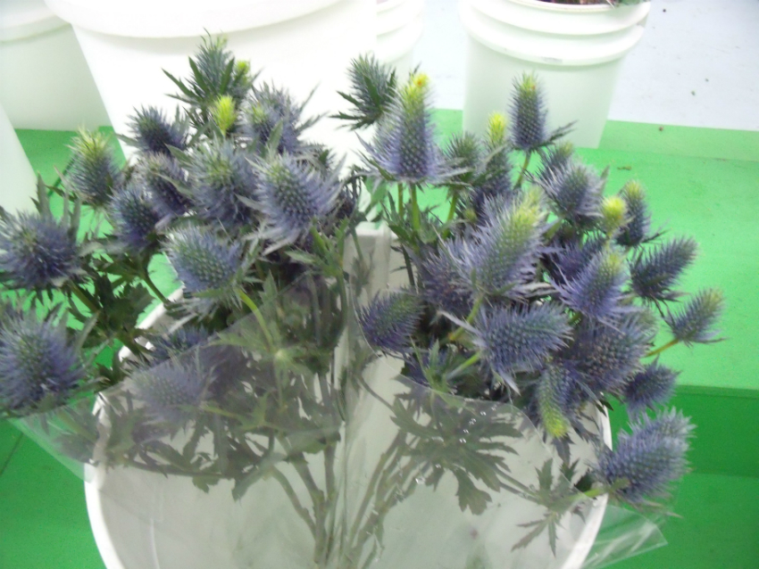 https://s3-us-west-2.amazonaws.com/public.prod.atlanticantigua.ca/images/FlowerFolder/Flowers_Eryngium_Thistle_Supernova.JPG