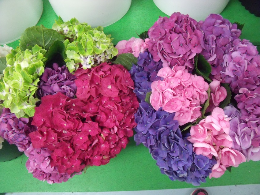 https://s3-us-west-2.amazonaws.com/public.prod.atlanticantigua.ca/images/FlowerFolder/Flowers_Hydrangea_Holland.JPG