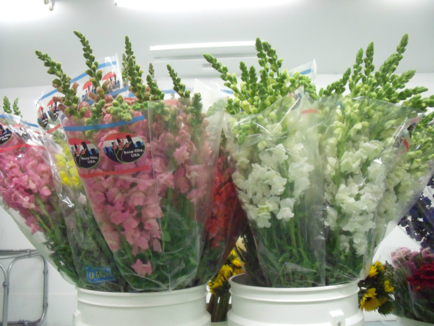 Snapdragons Flowers