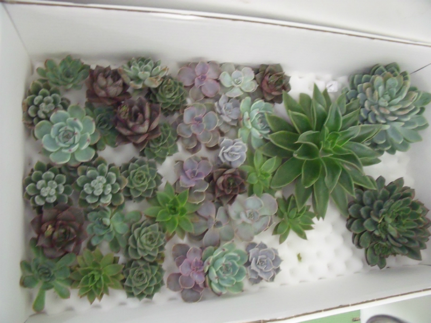 https://s3-us-west-2.amazonaws.com/public.prod.atlanticantigua.ca/images/FlowerFolder/Flowers_Succulents_Small_And_Large.JPG