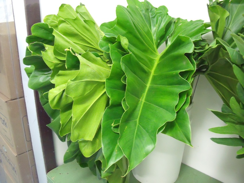 https://s3-us-west-2.amazonaws.com/public.prod.atlanticantigua.ca/images/FlowerFolder/Greens_Elephant_Ears.JPG