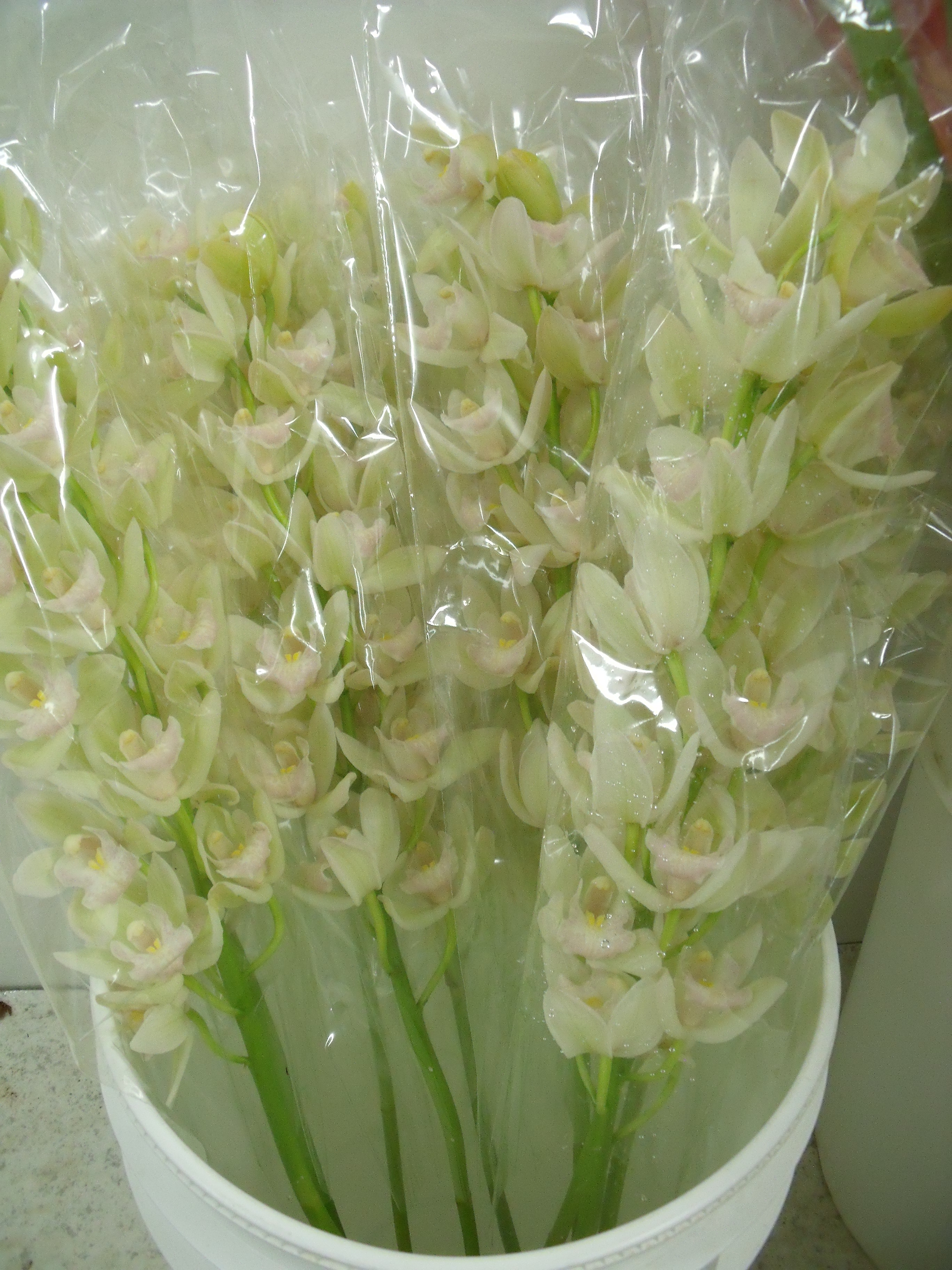 https://s3-us-west-2.amazonaws.com/public.prod.atlanticantigua.ca/images/FlowerFolder/Tropicals_Cymbidium_Mini_White.JPG